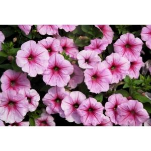 Egynyári akasztós virág