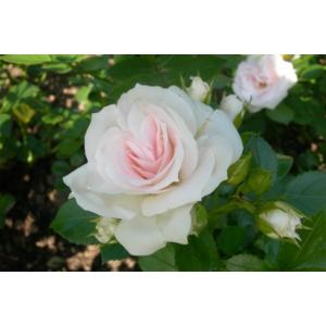 Talajtakaró ciklámen rózsa