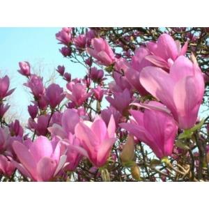 Nagyvirágú liliomfa