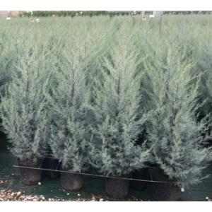 Kék arizoniai ciprus