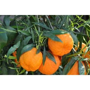 Édes narancs