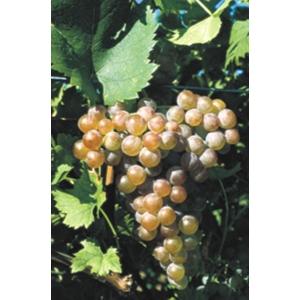 Cserszegi Fűszeres borszőlő (fehér)