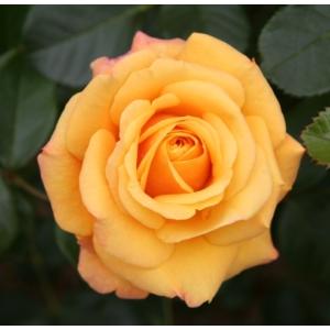Vegyes rózsafajták