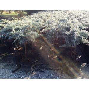 Virginiai boróka