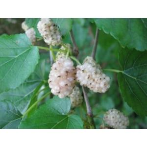 Fehér eperfa