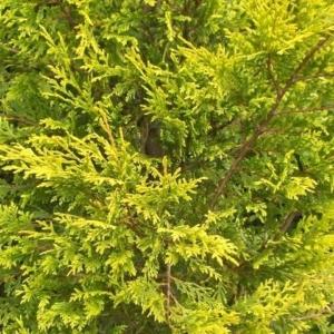 Arany lombú leyland ciprus