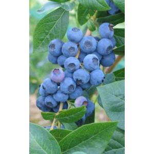 Kék áfonya
