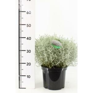 Ezüst növény