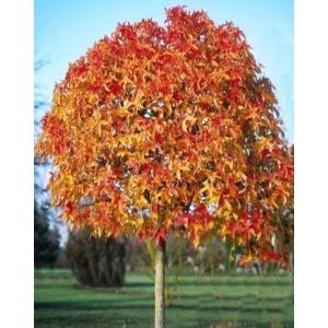 Amerikai ámbrafa bonsai