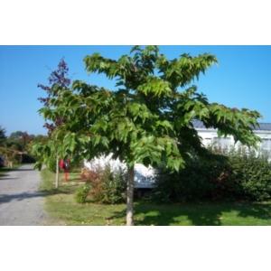 Platánlevelű eperfa