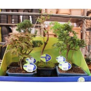 Kínai tiszafa- bonsai