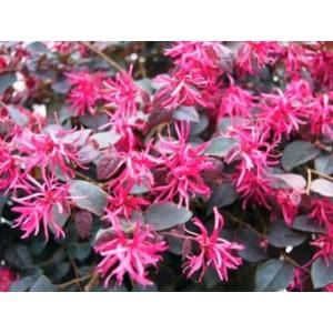 Kínai rojtosvirág