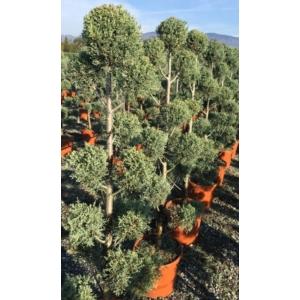 Oszlopos, kék arizoniai ciprus