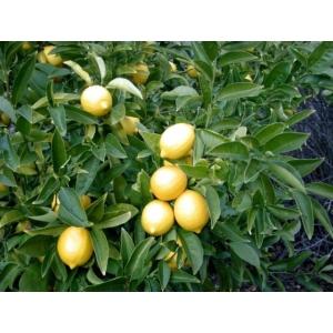 Ausztrál lime