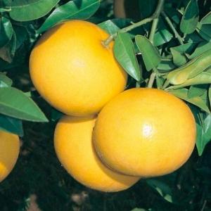 Grapefruit piros húsú