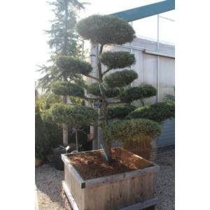 Boróka bonsai