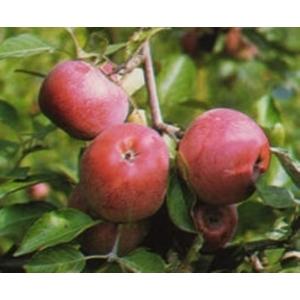 Kovelit téli alma