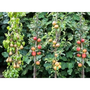 Oszlopos gyümölcsfák