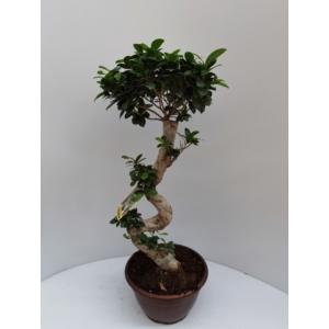 Fikusz bonsai