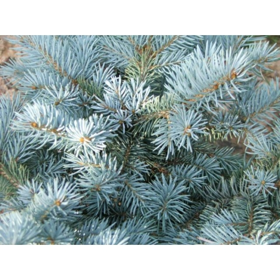 Ezüstfenyő bonsai