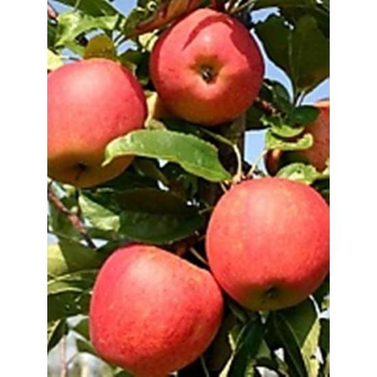 Tenroy őszi alma
