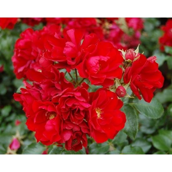 Talajtakaró rózsa