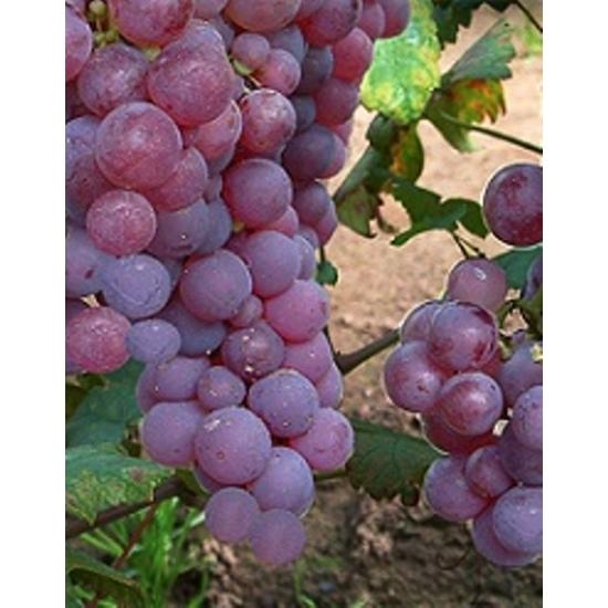 Piros saszla csemegeszőlő