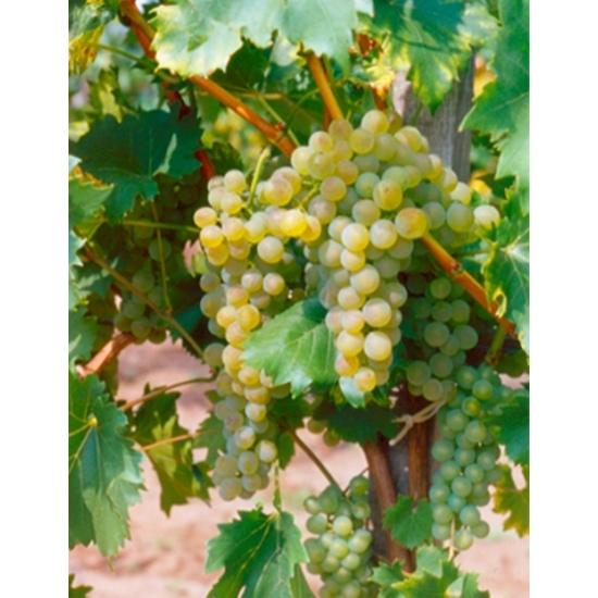 Bianca borszőlő (fehér)