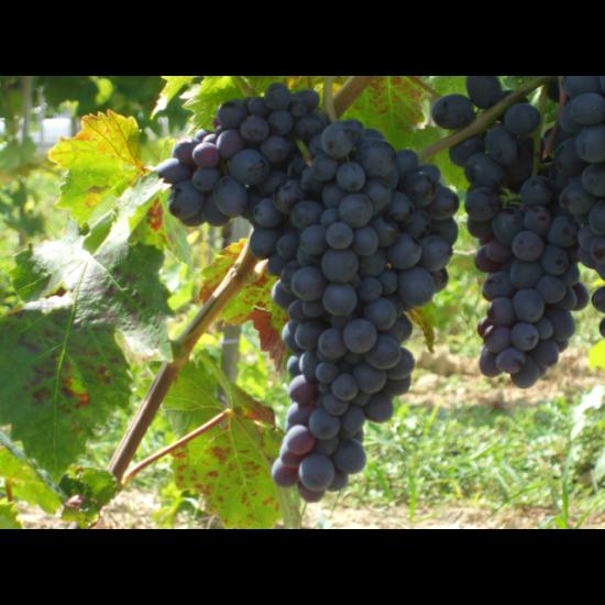 Conegliano csemegeszőlő