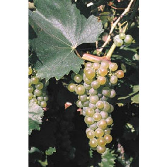 Királyleányka borszőlő (fehér)