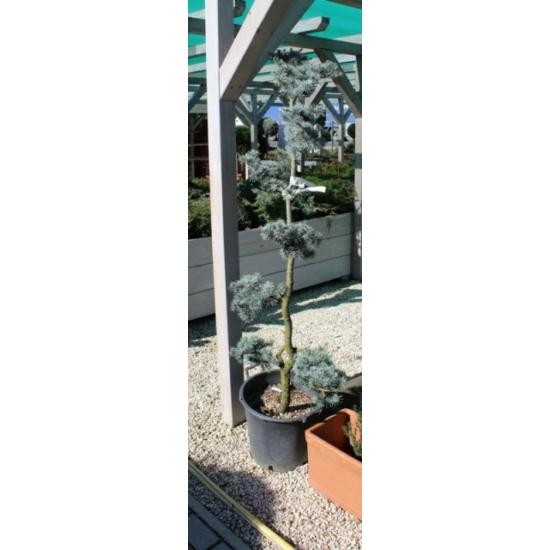 Kék atlasz cédrus bonsai