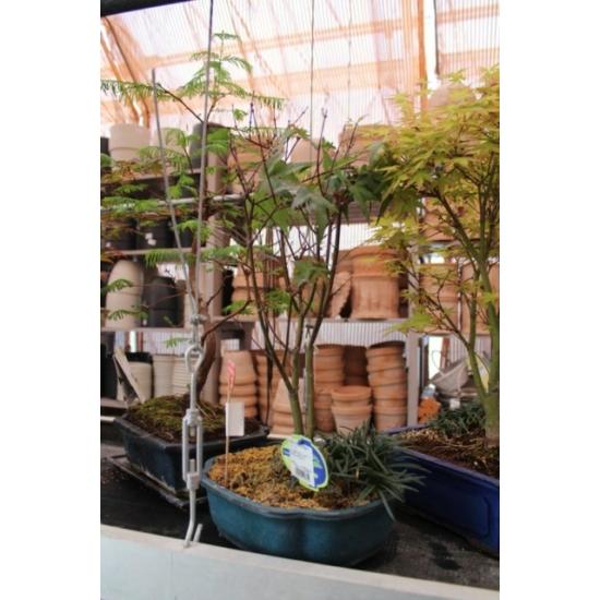 Japán juhar bonsai