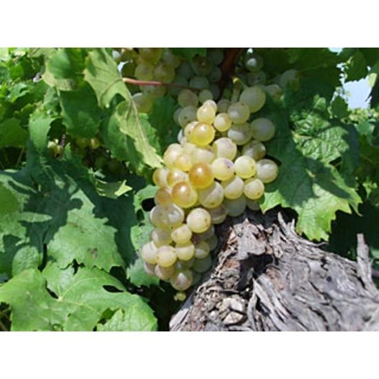 Rizlingszilváni borszőlő (fehér)