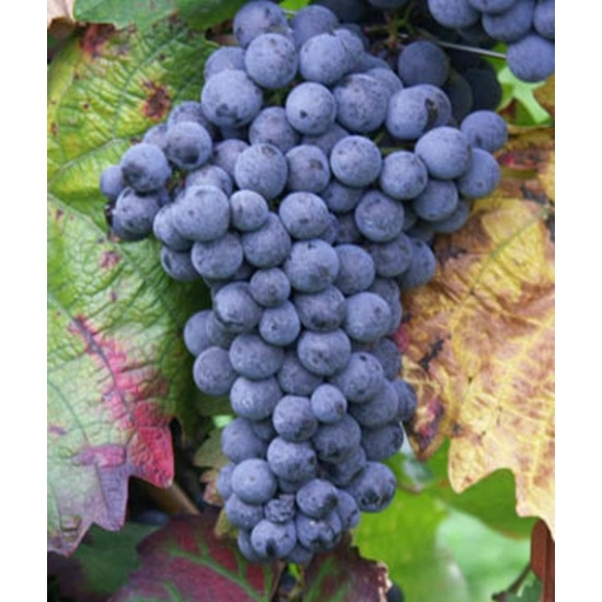Blauburger borszőlő (vörös)