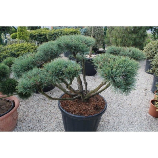 Törpe erdeifenyő-bonsai