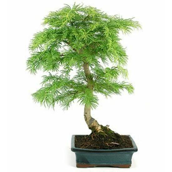 Aranyfenyő- bonsai