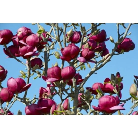 Bíborvörös liliomfa