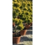 Kép 2/2 - Arany lombú leyland ciprus