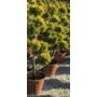 Kép 1/2 - Arany lombú leyland ciprus